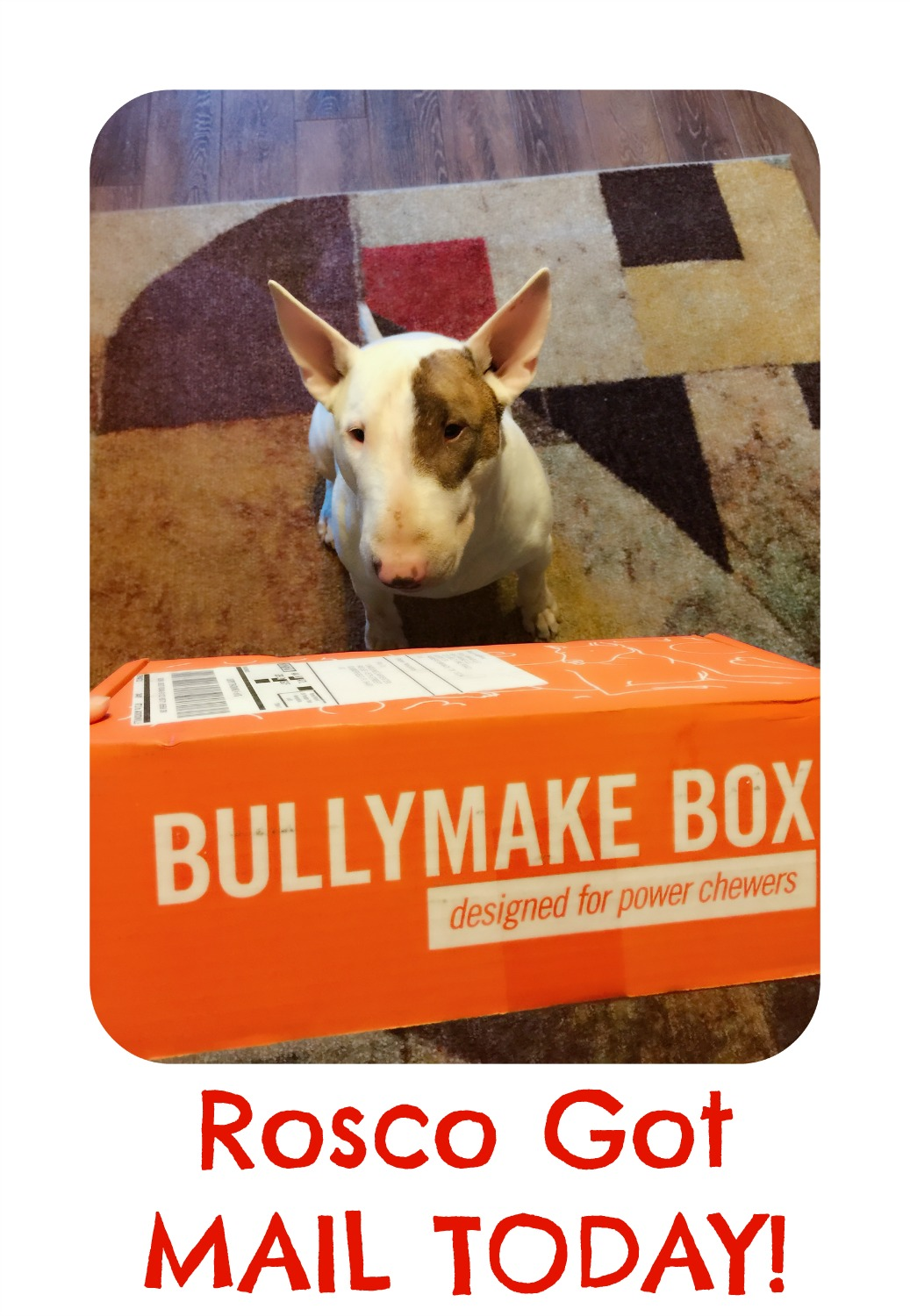 Rosco got mail from Bullymake Box!  He LOVED it!